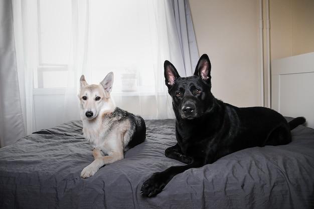 Большая черная собака и разноцветная овчарка отдыхают на кровати и смотрят в камеру дома