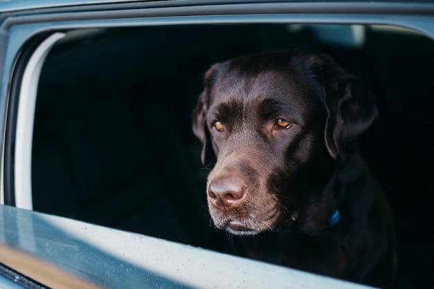 Big black dog in car
