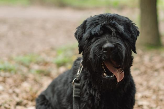 犬と一緒に屋外の春の散歩で大きな黒い犬の犬