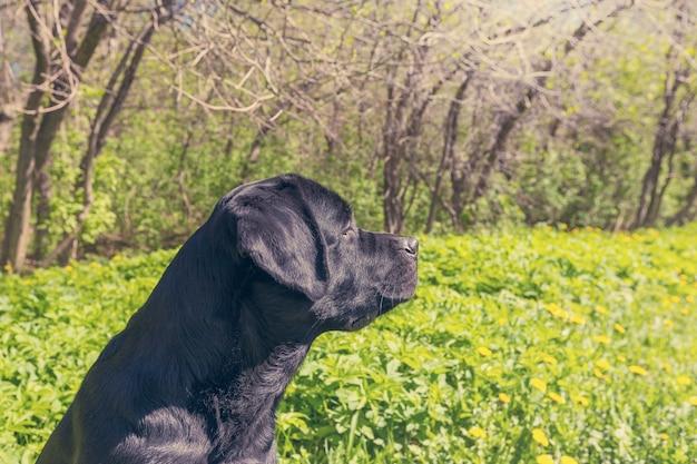 봄 또는 여름 녹색 공원에서 잔디에 큰 검은 개 래브라도 리트리버 성인 순종 실험실