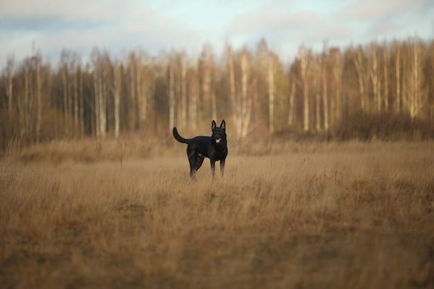 Большая черная дворняга гуляет на осеннем лугу