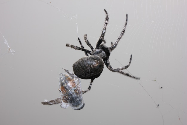 A big, black spider caught a fly.