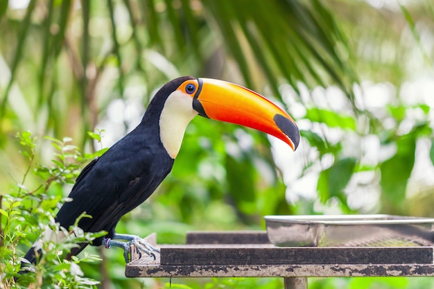 Big black toucan with an orange beak sits on a perch