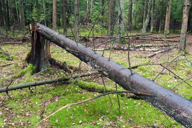 森林の暴風雨地域の大きな壊れた木