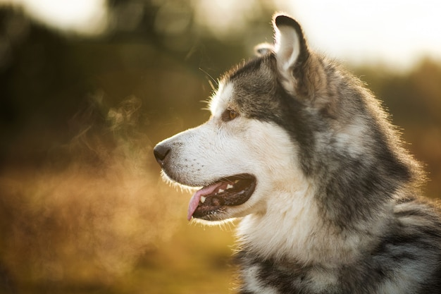 Большая коричнево-белая чистокровная величественная аляскинская маламут собака