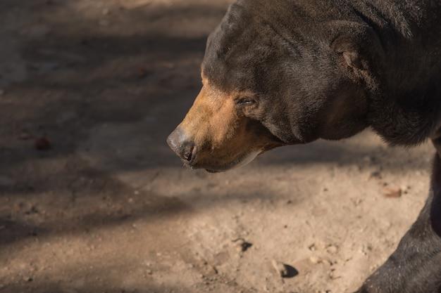 Big brown bear hear (ursus arctos) with dark background