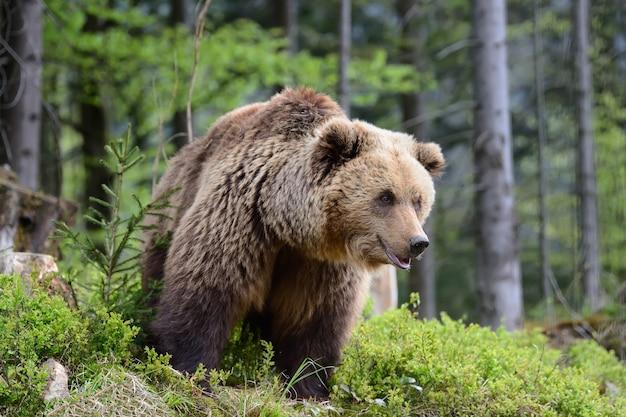 Большой бурый медведь в лесу летом