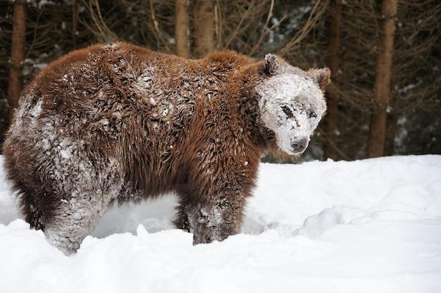Большой бурый медведь в зимнем лесу