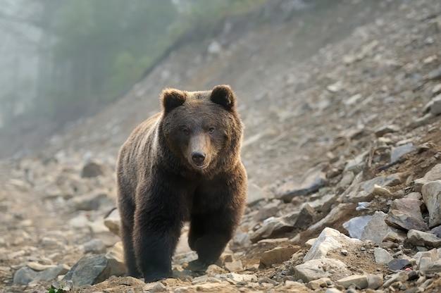 Большой бурый медведь (ursus arctos) в лесу