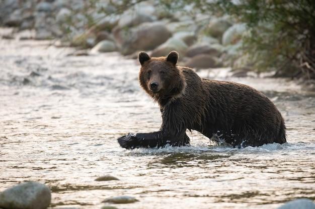 Большой бурый медведь вброд реки в осеннем утреннем солнечном свете