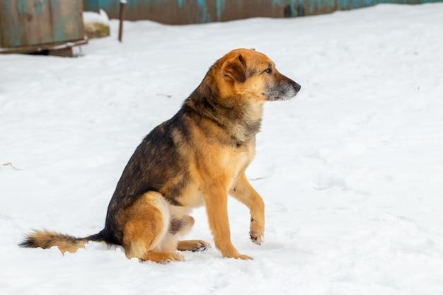 雪の中で座っている冬の大きな茶色の犬