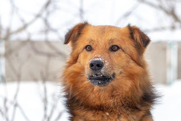 雪に覆われた鼻を持つ大きな茶色のふわふわ犬、犬の肖像画をクローズアップ