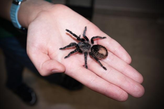 女性または子供の手のひらに大きな茶色のタランチュラのクモ、クローズアップ。
