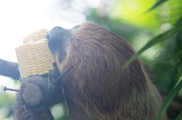 Big brown three-toed sloth climbing on a branch in the jungle, vertical, bright green jung