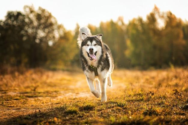 Большая коричневая белая чистокровная величественная аляскинская маламутская собака гуляет на пустом поле в летнем парке