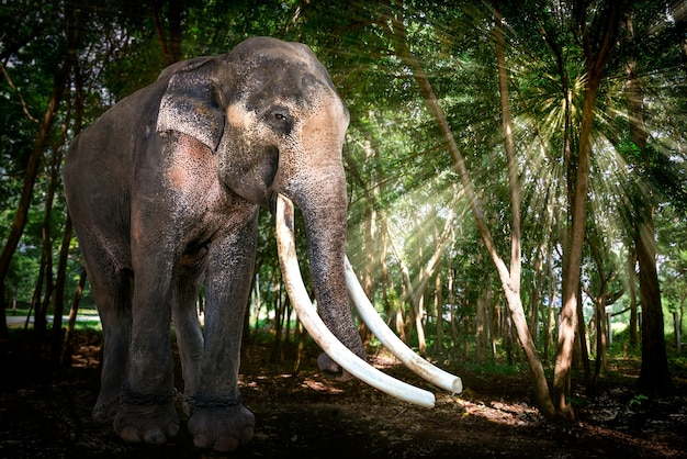 The big bull asia elephant in forest