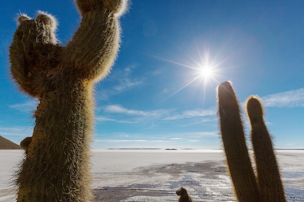 インカウアシ島の大きなサボテン、ソルトフラットウユニ塩原、アルティプラノ、ボリビア。珍しい自然の風景は太陽の旅を捨てた南アメリカ