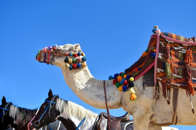A big camel in a colored outfit and a horse walk along the sand against the blue sky