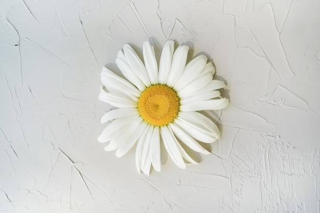 灰色のテクスチャ背景に大きなカモミール。ミニマルな花の装飾。明るく美しいヒナギク