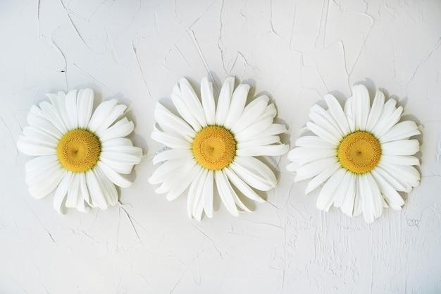 灰色のテクスチャ背景に大きなカモミール。ミニマルな花の装飾。 3つの明るく美しいヒナギク