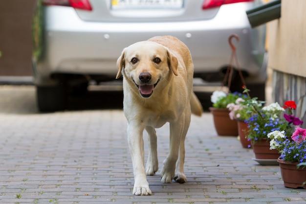 Большая умная светло-желтая коричневая собака лабрадор-ретривер, стоящая перед серебряным блестящим автомобилем в мощеном дворе в яркий солнечный летний день. охрана, защита дружба, верность и концепция лояльности.