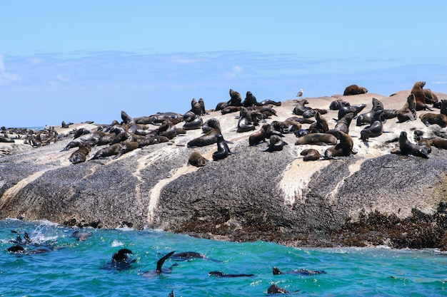 Big colony group of cape fur seals in wild nature
