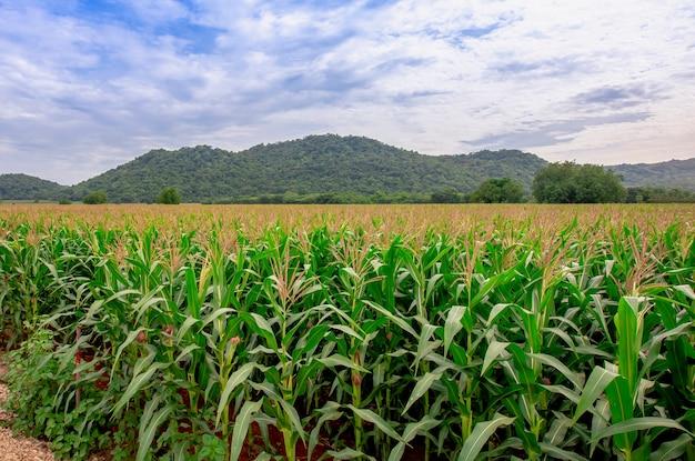 Big corn field farm