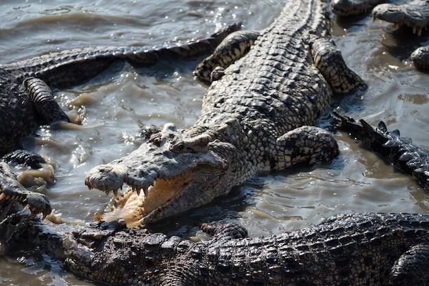 Большие крокодилы сражаются на болоте