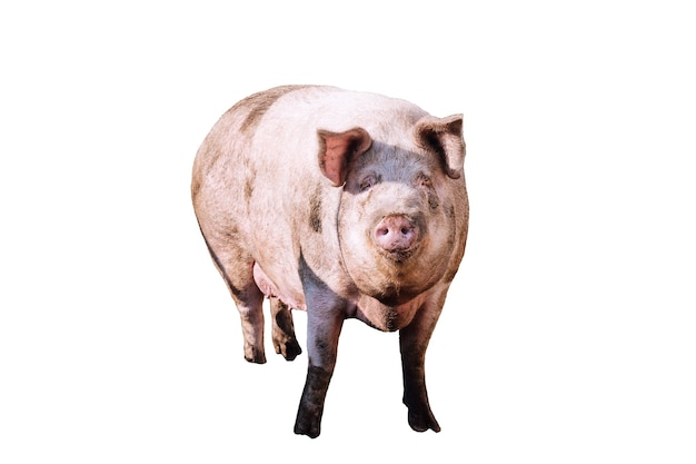 Big dirty pig on a white background
