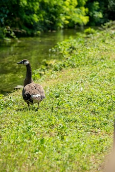 Big domestic goose on green grass by the river