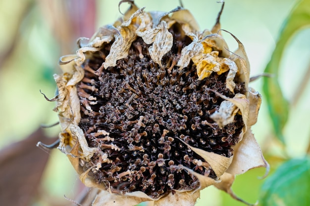 Big dry sunflower, extreme close up