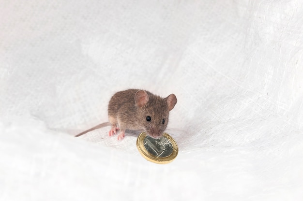 Ушастая серая мышь с монеткой в зубах
