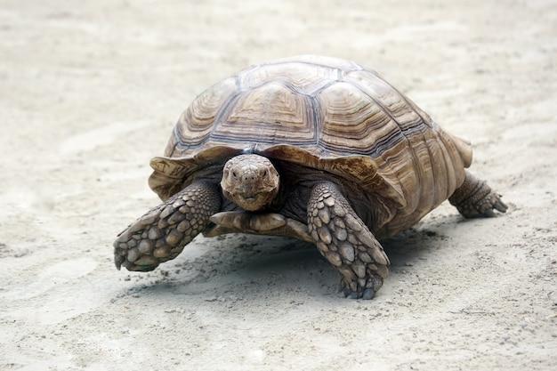 Big elephant turtle crawling on sand