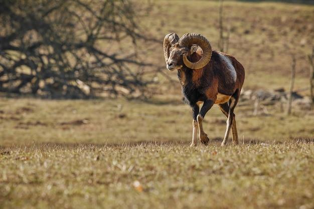 Grande muflone europeo nell'animale selvatico della foresta nell'habitat naturale repubblica ceca Foto Gratuite