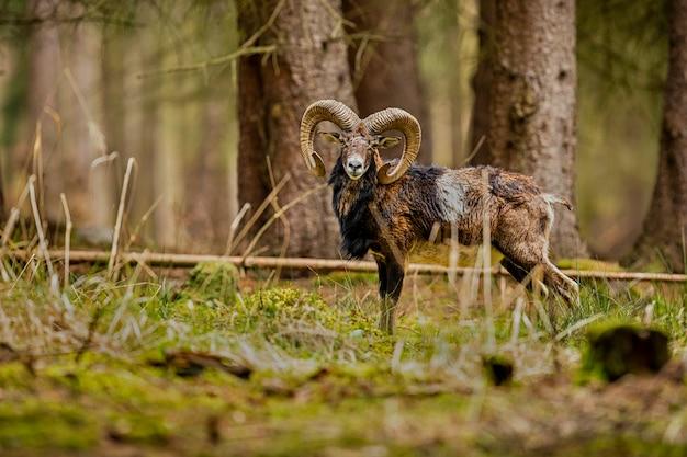 Grande muflone europeo nell'animale selvatico della foresta nell'habitat naturale repubblica ceca