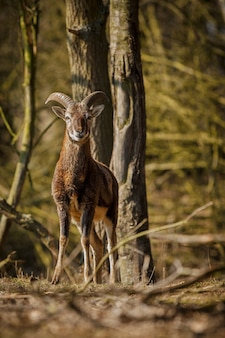 자연 서식지 체코의 숲 야생 동물에서 큰 유럽 moufflon