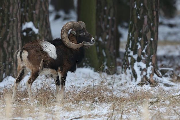 자연 서식지 체코의 숲 야생 동물에서 큰 유럽 Moufflon 프리미엄 사진