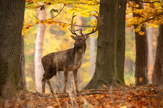 Большая лань стоит в лесу осенью