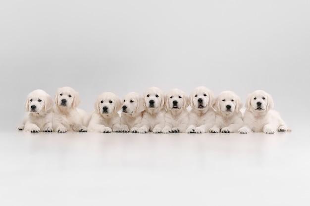 大家族。イングリッシュクリームゴールデンレトリバーのポーズ。かわいい遊び心のある犬や純血種のペットは、白い背景で隔離されてかわいいように見えます。