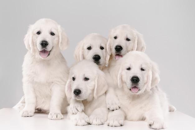 대가족. 영어 크림 골든 리트리버 포즈. 귀여운 장난 강아지 또는 순종 애완 동물은 흰색 배경에 고립 된 귀여워 보인다.