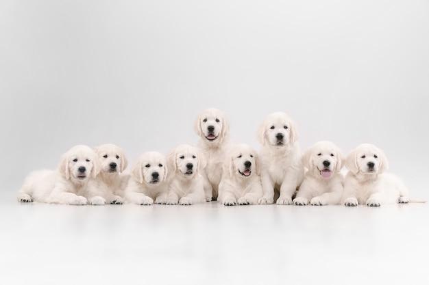 大家族。イングリッシュクリームゴールデンレトリバーのポーズ。かわいい遊び心のある犬や純血種のペットは、白い壁に隔離されてかわいいように見えます。動き、行動、動き、犬やペットの愛の概念。コピースペース。