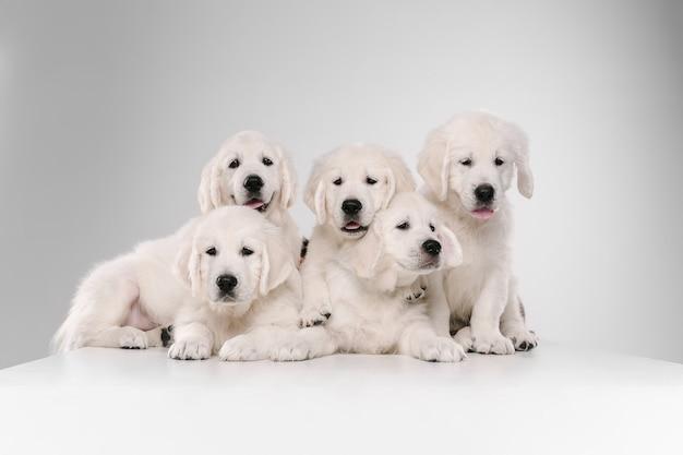 Большая семья. английский кремовый золотистый ретривер позирует. симпатичные игривые собачки или породистые питомцы мило смотрятся на белой стене. понятие движения, действия, движения, любви собак и домашних животных. copyspace.