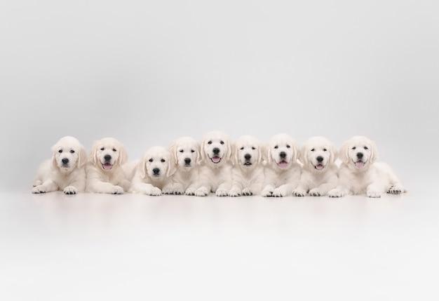 대가족. 영어 크림 골든 리트리버 포즈. 귀여운 장난기 많은 강아지 또는 순종 애완 동물은 흰 벽에 고립 된 귀여워 보입니다. 모션, 액션, 움직임, 개 및 애완 동물의 개념을 사랑합니다. copyspace.