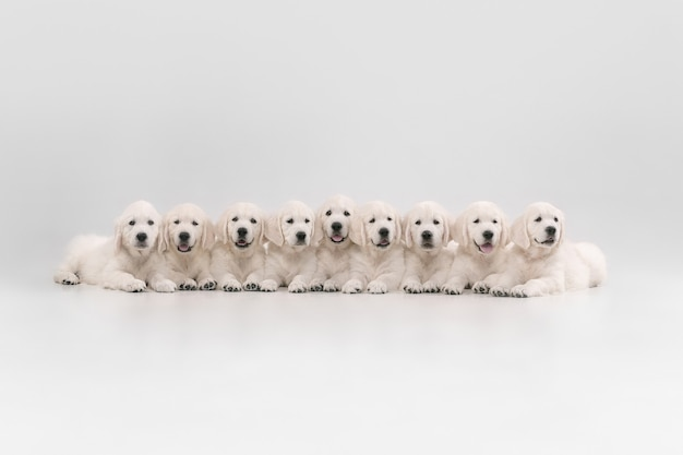 Big family. english cream golden retrievers posing. cute playful doggies or purebred pets looks cute isolated on white wall. concept of motion, action, movement, dogs and pets love. copyspace.