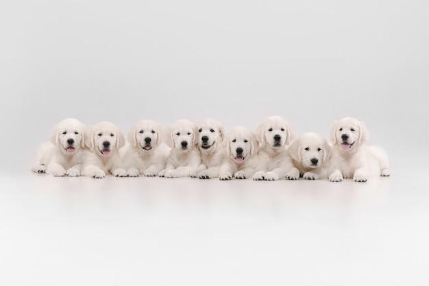 Big family. english cream golden retrievers posing