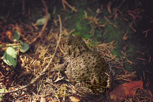 The big fat toad turned its back and looks at the direction of the future jump