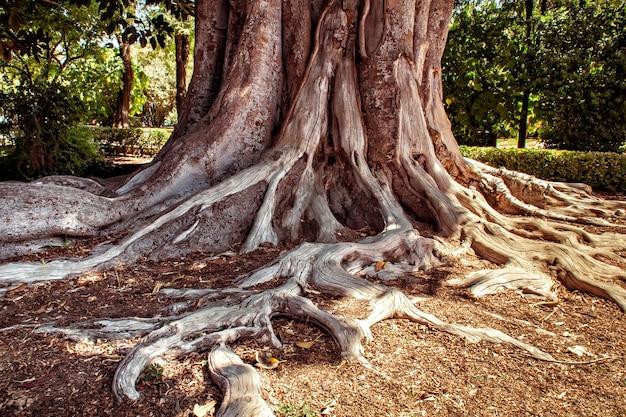 뿌리를 가진 큰 ficus 나무