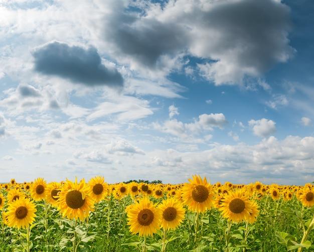 큰 필드 해바라기 하늘과 구름 농업 풍경