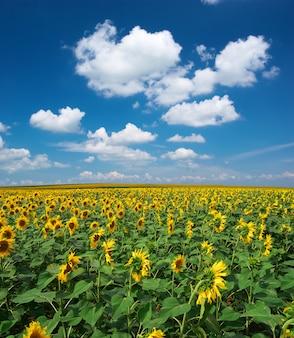 Big field of sunflowers
