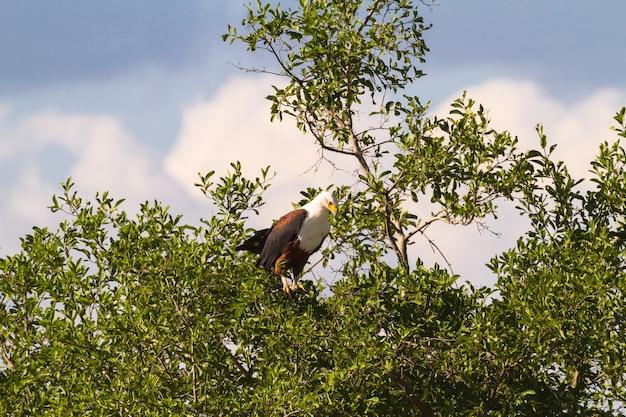Орел большой рыбы на дереве. река грумери, серенгети, танзания